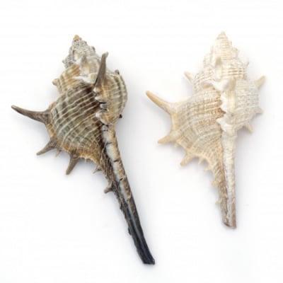 Морски раковини 40~68x12~39x15~30 мм 5~7 броя ~50 грама