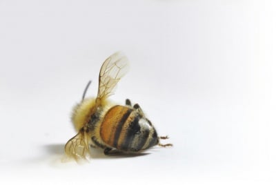 За една година популацията на пчели в САЩ е намаляла между 40% и 60%