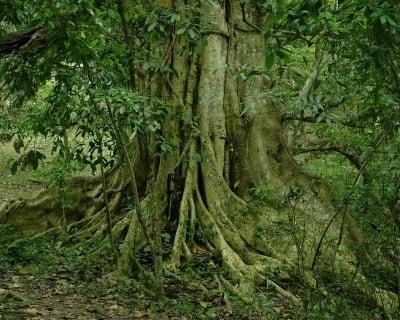 Лекуване чрез дървета