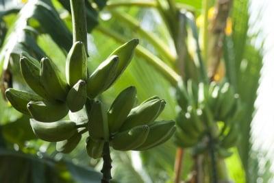 Ползи за здравето при редовна консумация на банани - Тропическата супер храна