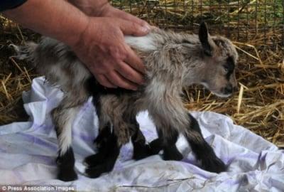 Козле с осем крака се роди в Хърватия - игра на природата или предизвикана от ГМО генетична мутация