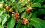 11 невероятни ползи за здравето, които притежава растението Ашваганда