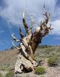 Метусаил - най-старото дърво на света - 4772 години