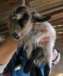 Осмокрако козле 3